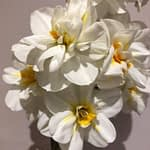 Scented Narcissus – Postal Flowers